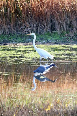 Photograph - Great Egret And Little Blue Heron In The Marsh by Carol Groenen