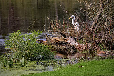 Ira Marcus Royalty-Free and Rights-Managed Images - Great Egret at Rivers Edge by Ira Marcus