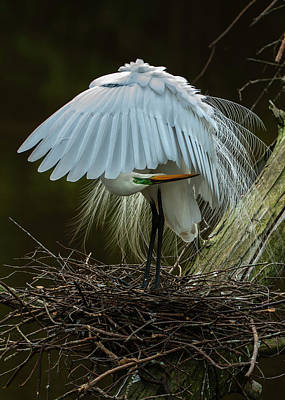 Fine Dining - Great Egret Beauty by Donald Brown