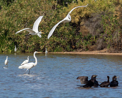 Photograph - Great Egret Chase 9768-111218-1cr by Tam Ryan
