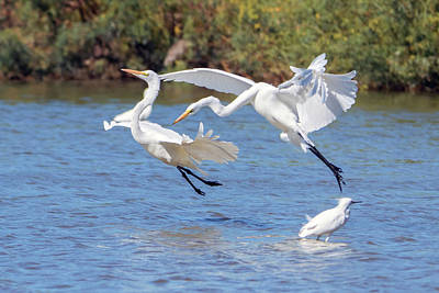 Photograph - Great Egret Chase 9769-111218-1cr by Tam Ryan