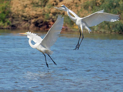 Photograph - Great Egret Chase 9770-111218-cr by Tam Ryan