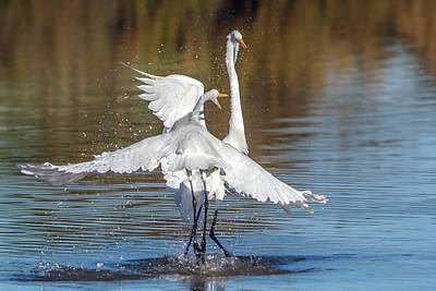 Photograph - Great Egret Fight 0722-010819 by Tam Ryan