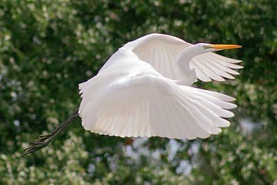 Photograph - Great Egret In Flight by Stefan Mazzola