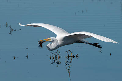 Photograph - Great Egret Flying With Fish by Ken Stampfer
