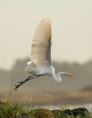 Photograph - Great Egret Launch by Loree Johnson