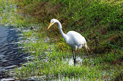 Photograph - Great Egret On The Prowl by William Tasker