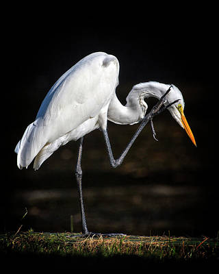 Photograph - Great Egret Scratch by Alan Raasch