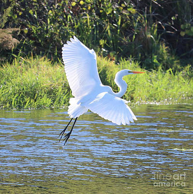 Photograph - Great Egret Takeoff Square by Carol Groenen
