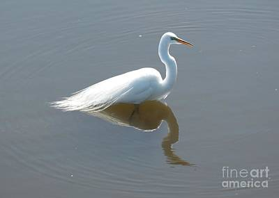 Photograph - Great Egret Wading by Carol Groenen