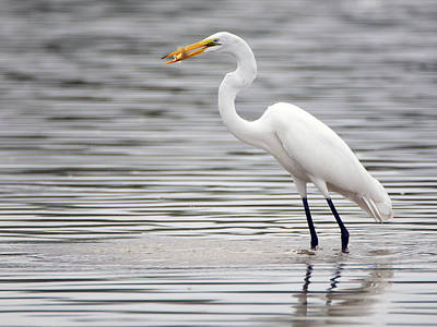 Photograph - Great Egret With Fish 3273-100318-1cr by Tam Ryan