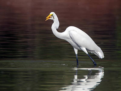 Photograph - Great Egret With Fish 3284-100318-1cr by Tam Ryan