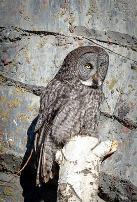 Photograph - Great Gray Owl by Philip Rispin