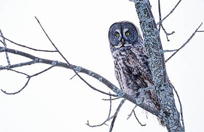 Bird Photograph - Great Gray Owl Strix Nebulosa In by Andrew Mclachlan
