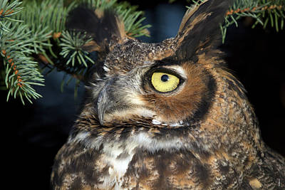 Photograph - Great Horned Owl 10181801 by Rick Veldman