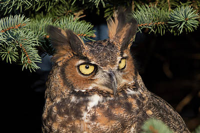 Photograph - Great Horned Owl 10181802 by Rick Veldman