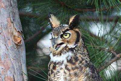 Photograph - Great Horned Owl 5151801 by Rick Veldman