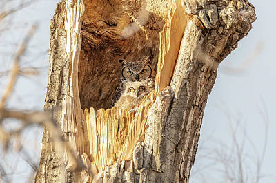 Spot Of Tea - Great Horned Owl and Owlet at Home by Tony Hake