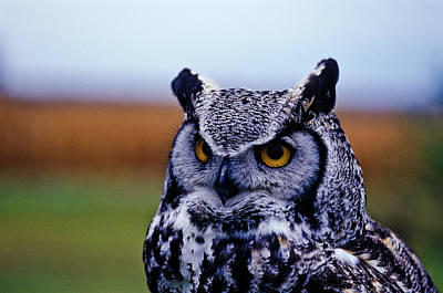 Bird Photograph - Great Horned Owl Bubo Virginianus by Andrew Mclachlan