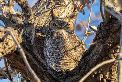 Photograph - Great Horned Owl Gives A Stern Look by Tony Hake