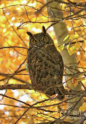 Photograph - Great Horned Owl In Autumn Tree by Carol Groenen
