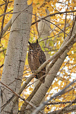 Photograph - Great Horned Owl In Poplar Tree by Carol Groenen
