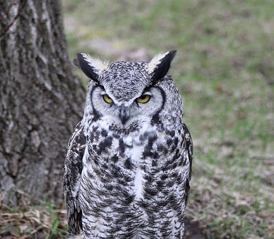 Photograph - Great Horned Owl by N Kirouac