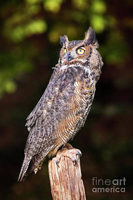 Photograph - Great Horned Owl On Watch by Sharon McConnell
