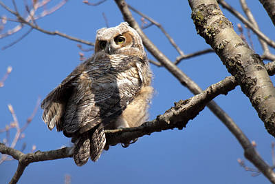 Photograph - Great Horned Owlet 42915 by Rick Veldman