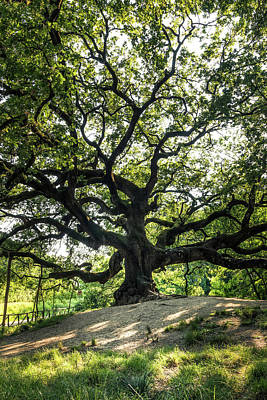 Photograph - Great Oak - The Great Oak In Montecarlo Near Lucca, Tuscany, Italy by Matteo Viviani