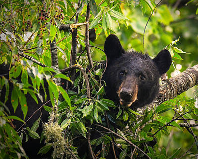 Great Smoky Mountains Bear - Black Bear Art Print