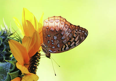 Rights Managed Images - Great Spangled Fritillary Butterfly On Sunflower Royalty-Free Image by Debbie Oppermann