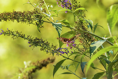 Photograph - Great Spangled Fritillary On A Butterfly Bush by Belinda Greb