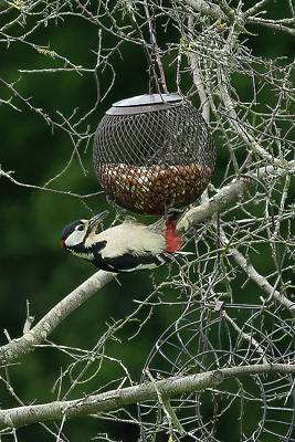 Photograph - Great Spotted Woodpecker by James Lamb
