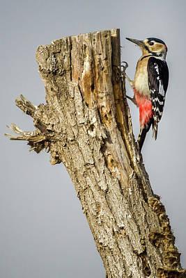 Photograph - Great Spotted Woodpecker Zhangye Wetland Park Gansu China by Adam Rainoff
