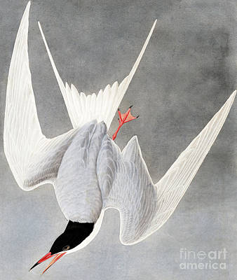 Painting - Great Tern, Sterna Hirundo By Audubon by John James Audubon