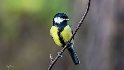 Photograph - Great Tit Perching On The Twig by Torbjorn Swenelius