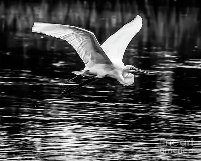 Photograph - Great White Heron by Thomas Marchessault