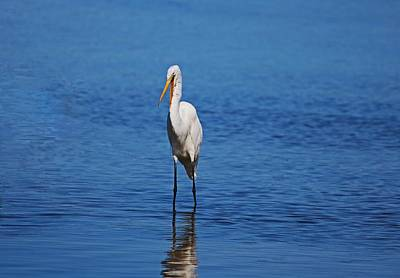 Photograph - Great White Egret At Ding II by Michiale Schneider