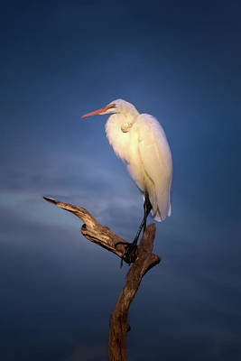 Mark Andrew Thomas Royalty-Free and Rights-Managed Images - Great White Egret at Sunset by Mark Andrew Thomas