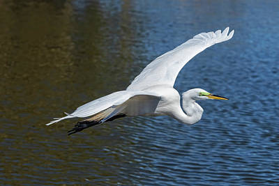 Photograph - Great White Egret In Flight by Jim Vallee