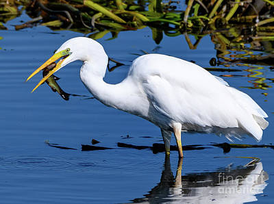 Photograph - Great White Egret With Fish by Colin Rayner