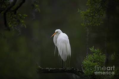 Photograph - Great White Heron - Lowcountry Marsh by Dale Powell