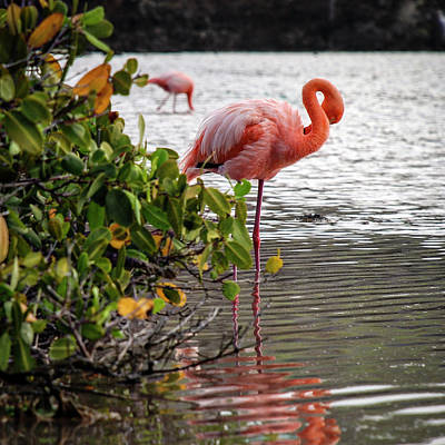 Standing Photograph - Greater Flamingo 2 by Henri Leduc