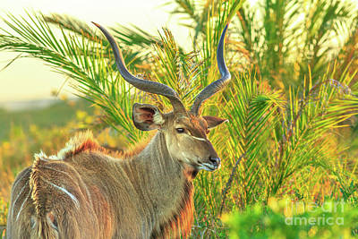 Photograph - Greater Kudu At Isimangaliso by Benny Marty