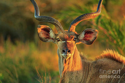 Photograph - Greater Kudu Face by Benny Marty