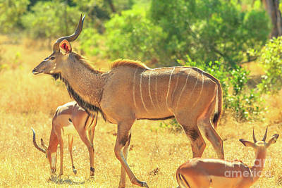 Photograph - Greater Kudu Family by Benny Marty