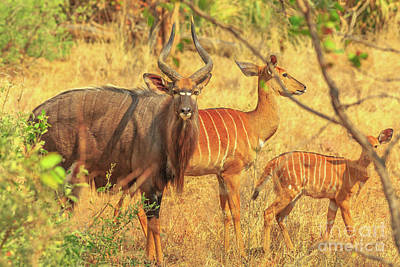 Photograph - Greater Nyala Family by Benny Marty