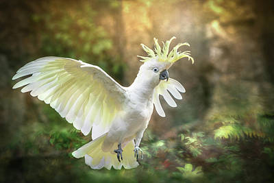 Photograph - Greater Sulphur-crested Cockatoo - Flight by Patti Deters