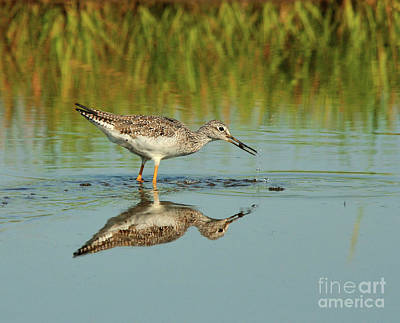 Photograph - Greater Yellow-legs Shorebird by Debbie Stahre